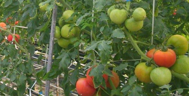 「栗の里 二本松店  相模原では貴重な自家栽培トマトのレストラン」のアイキャッチ画像