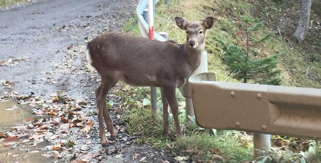 「相模原市緑区の「相原」でシカ目撃 鹿と遭遇したときはどうすればよいの?」のアイキャッチ画像